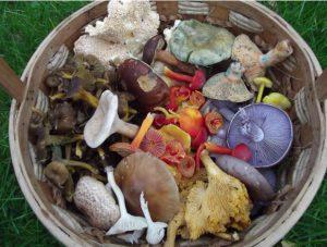 A basket full of foraging mushrooms