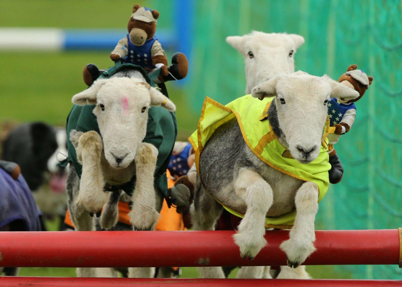 Sheep racing at South of England show