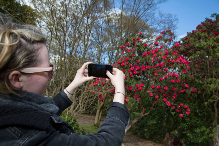 A woman taking a photo of a rose bush