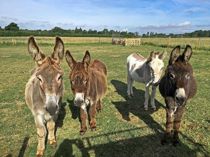 Four donkeys pictured in countryside
