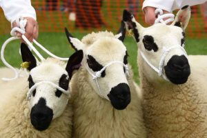 Findon Sheep Fair