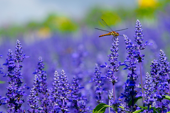 Nymans Gardens purple Salvia and dragonfly