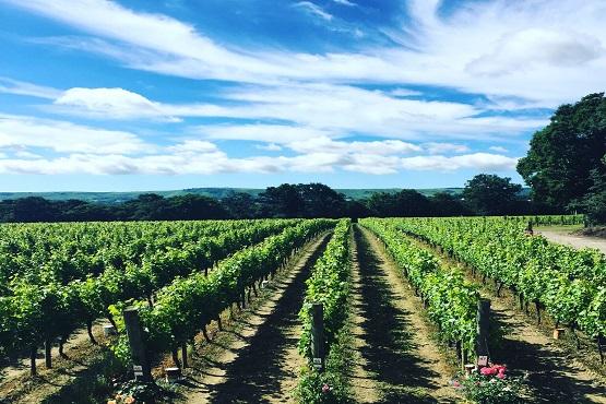 Ridgeview vineyards in the sunshine