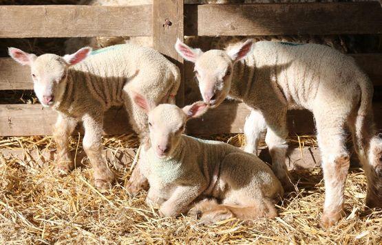 Three lambs at Coombes Farm