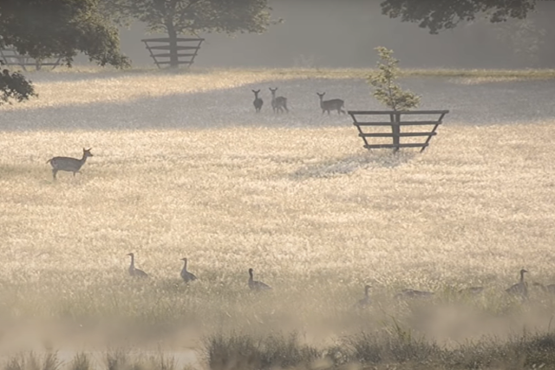 Knepp wildland with ducks and deer in a field of long grass