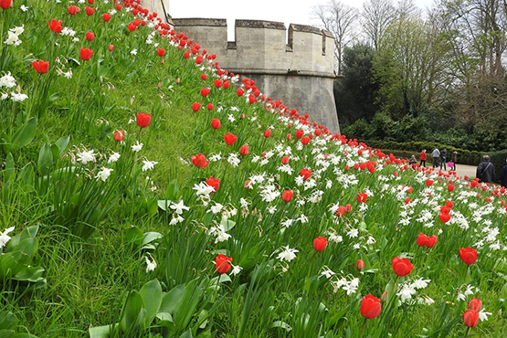 red a white tulips at the Tulip Festival at Arundel Castle