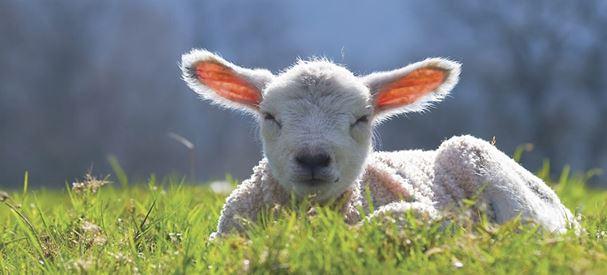 A lamb alseep in the sun on Gaston Farm