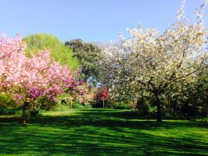 Pink and white cherry blossom trees in bloom at Highdown Gardens