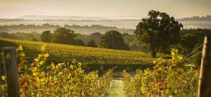 Blackdown Ridge vineyard