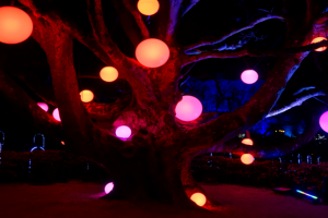 Illuminated trees at Leonardslee Sussex