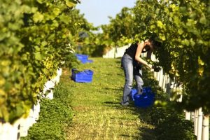 A woman tending to the vines at Stopham Vineyard