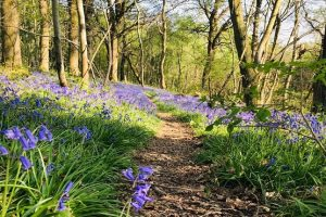 Bluebells and trees at Standen House and Gardens, National Trust