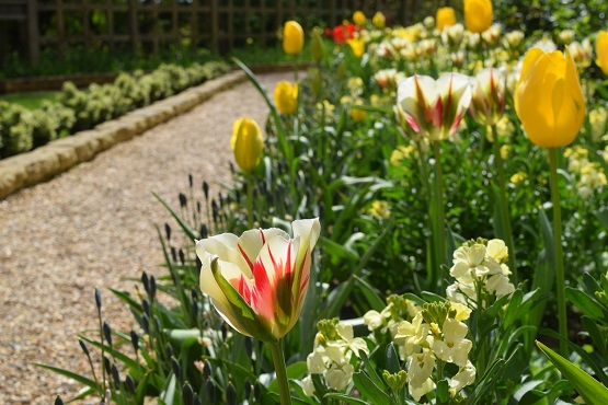 Tulips and spring flowers lining a gravel path at Standen House and Gardens