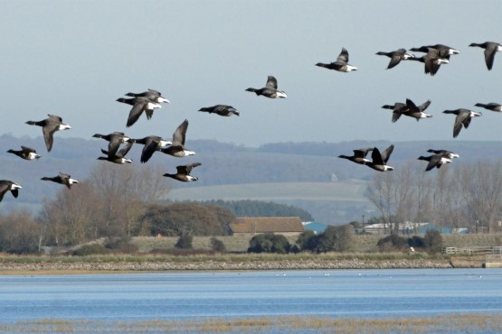 Birds flying at the Pagham Harbour
