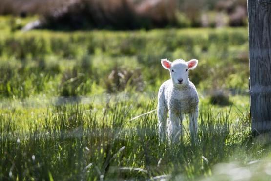 Gaston Farm Open Lambing