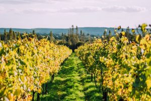 Nyetimber Vineyard vines and landscape