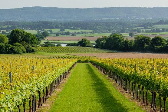 Roebuck Estates vines and landscape