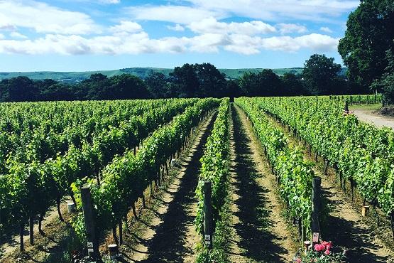 Ridgeview vineyard landscape