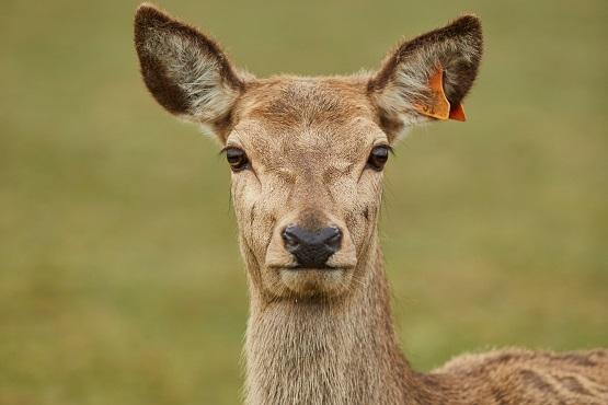A close up image of a deer at Sky Park Farm