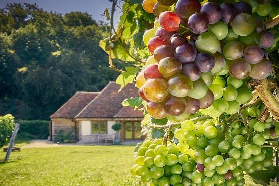 Close up shot of Wiston Estate's vineyard grapes