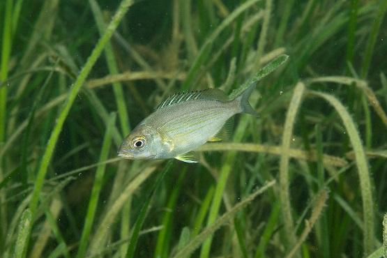 Black sea bream fish under water