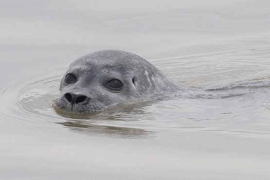 Common seal poking its head out of the water